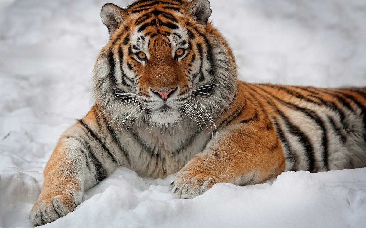 Добрым утром, картинки картинки тигра