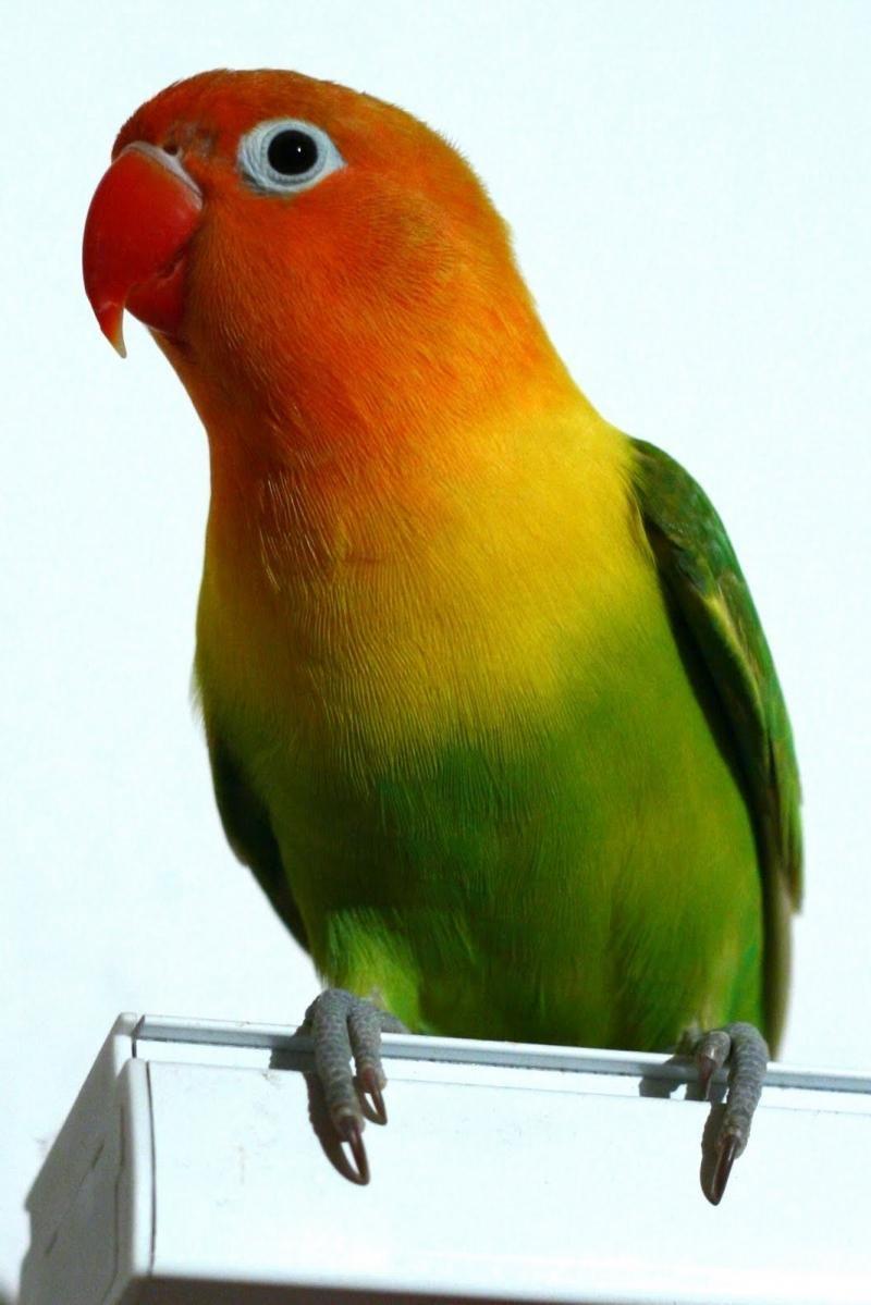 Сколько живут попугаи 78