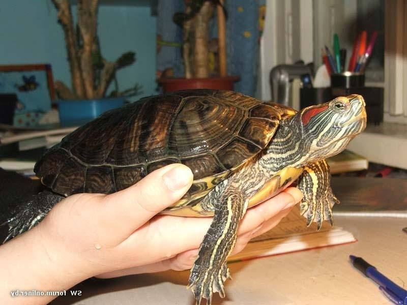 Фотки черепахи красноухой