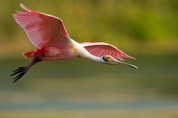 Розовая колпица (лат. platalea ajaja) — вид птиц семейства ибисовых. колпицы предпочитают тёплые, солнечные влажные области Флориды.