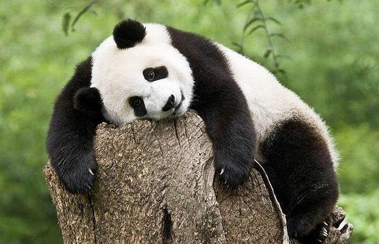 Картинки приколы с пандами