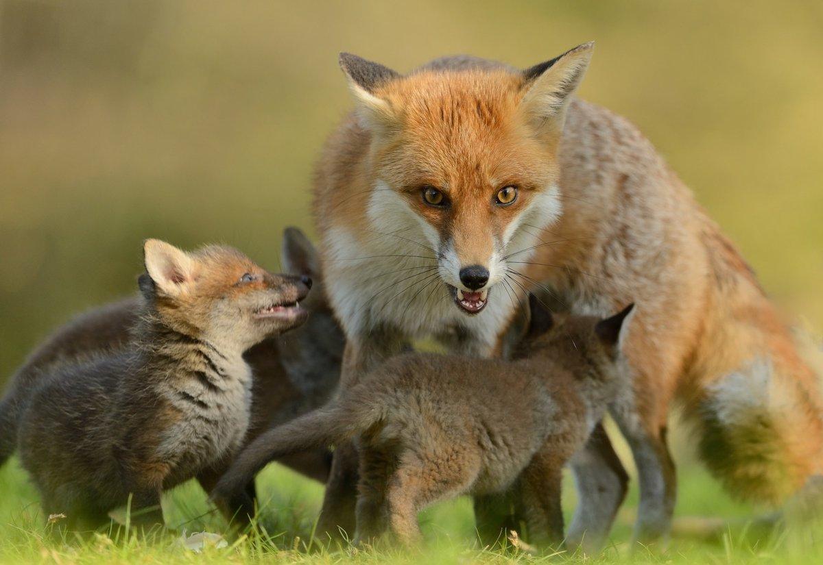 рыжее потомство лисицы