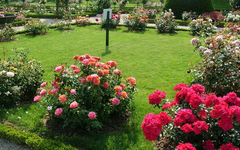 Групповая посадка роз