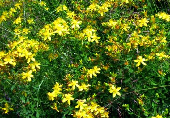 Termoline зверобой трава лечебные свойства и противопоказания для женщин может быть