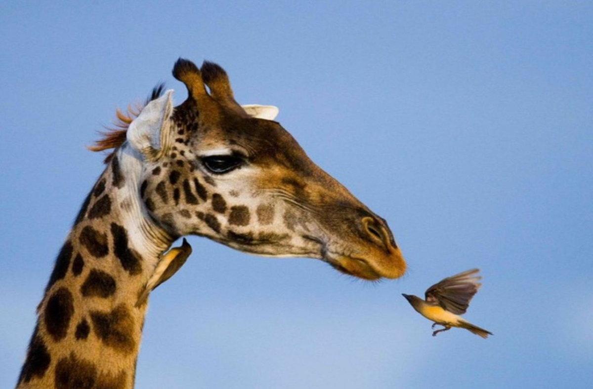 Жирафы картинки на рабочий стол, прекрасны открытка