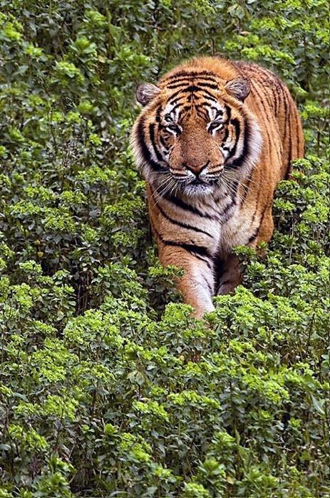 Тигр идущий по траве.