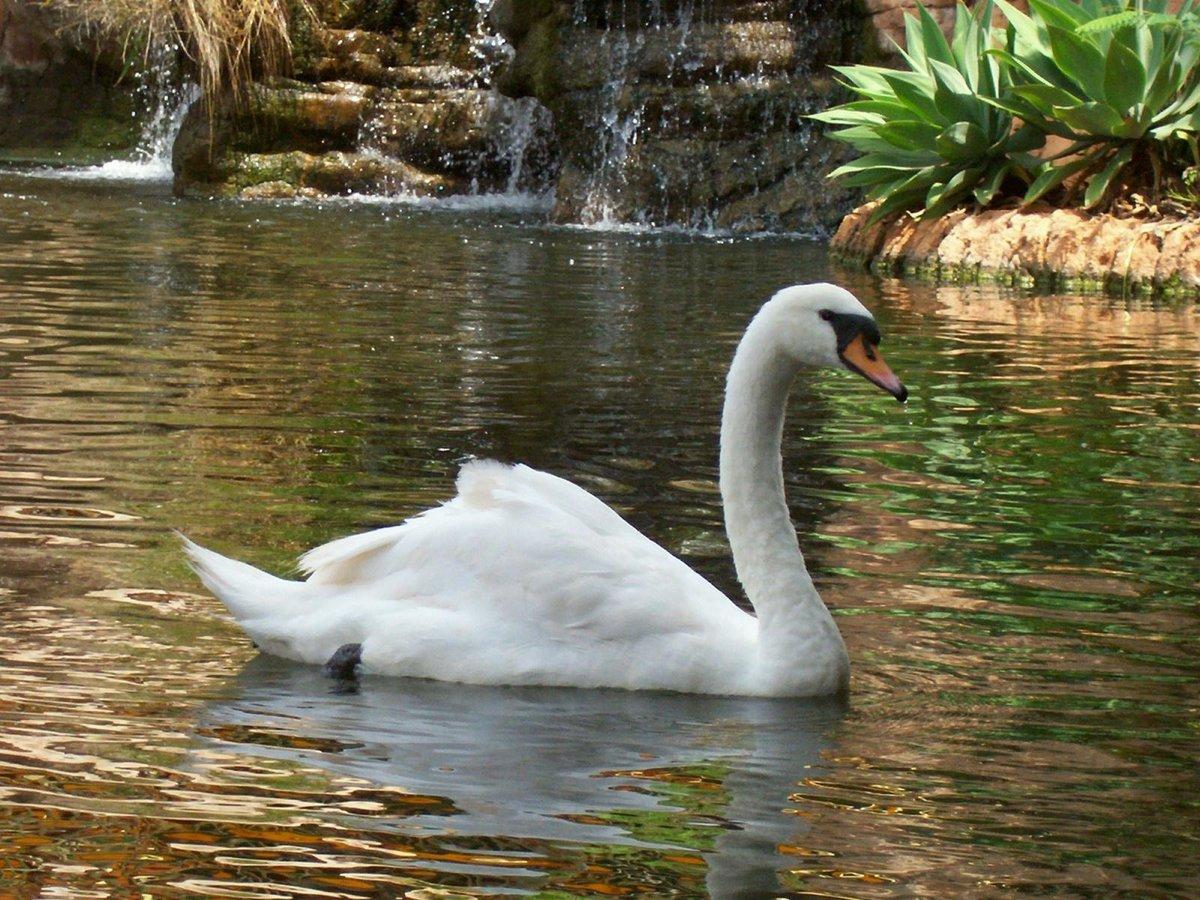 картинки необычных лебедей господне один