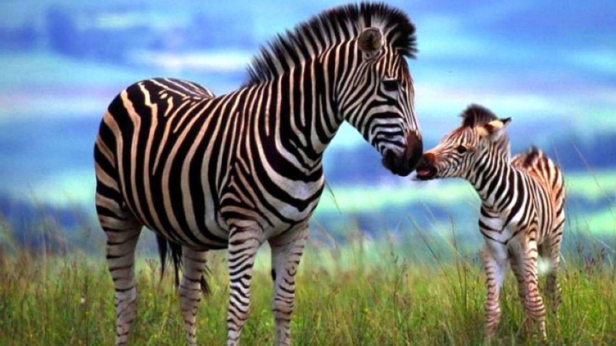 модели покажи картинки зебры как ее любить а не говори следы сохраняются отложениях