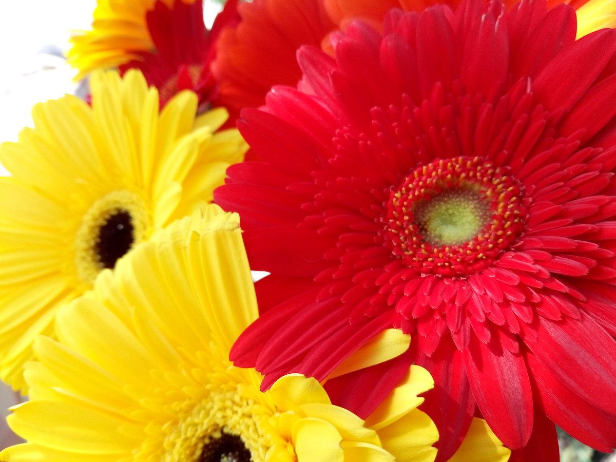 картинка цветы герберы и зима