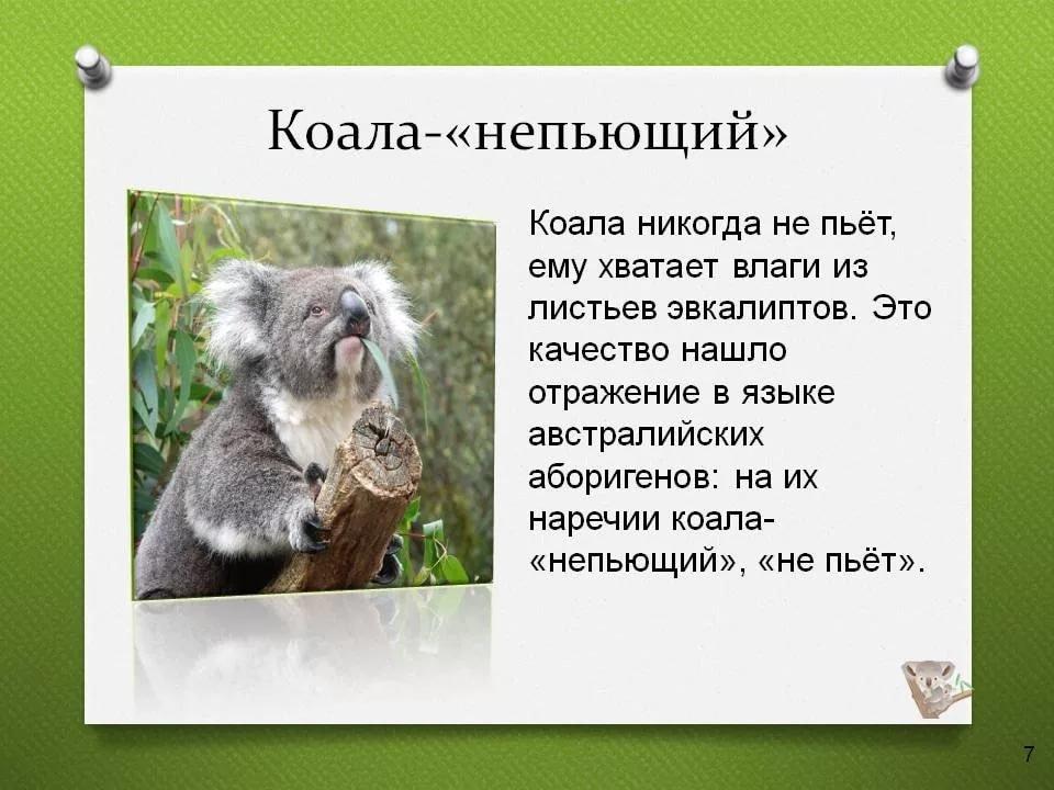 коала картинка с описанием виды