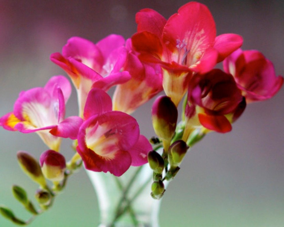 Фрезия фото цветов описание
