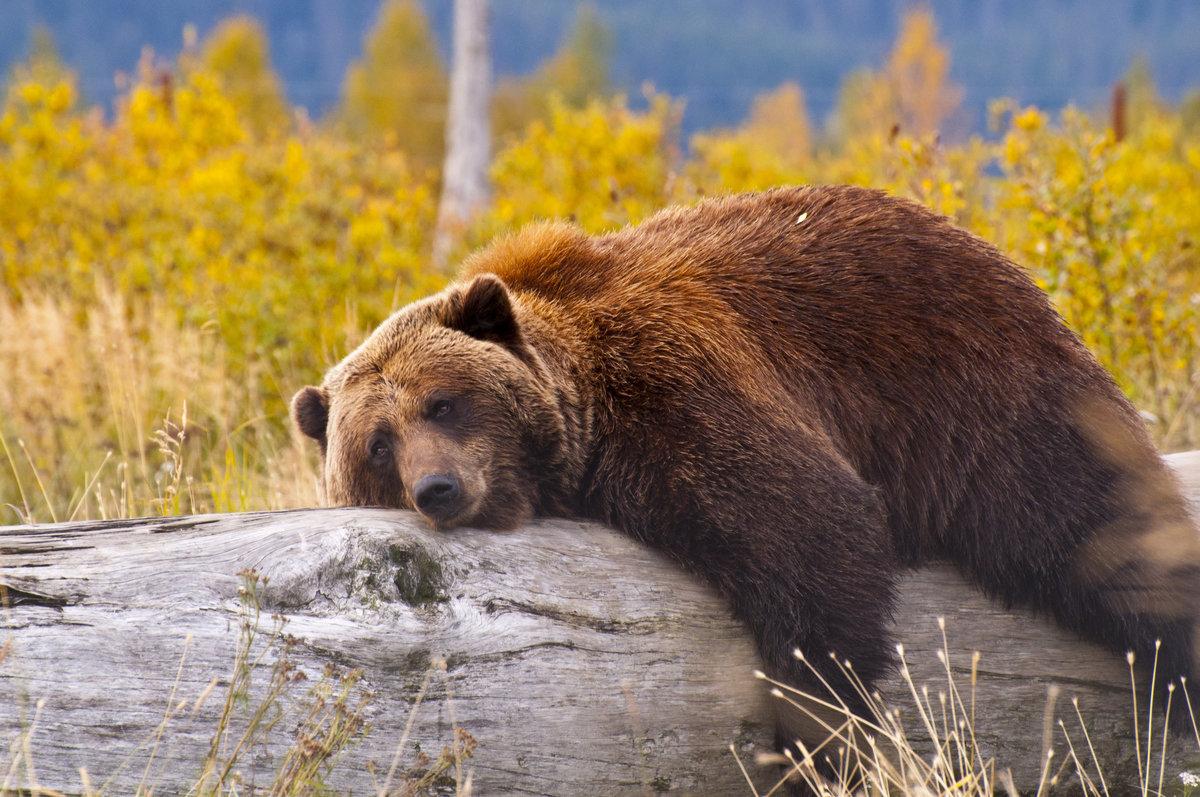 Открытки, медведь гризли прикольные картинки