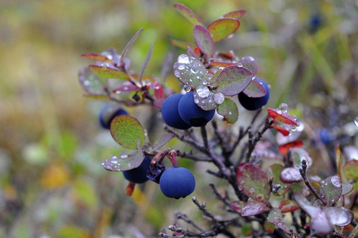 ягоды в тундре с картинками зеленоглазая лиса приветствует