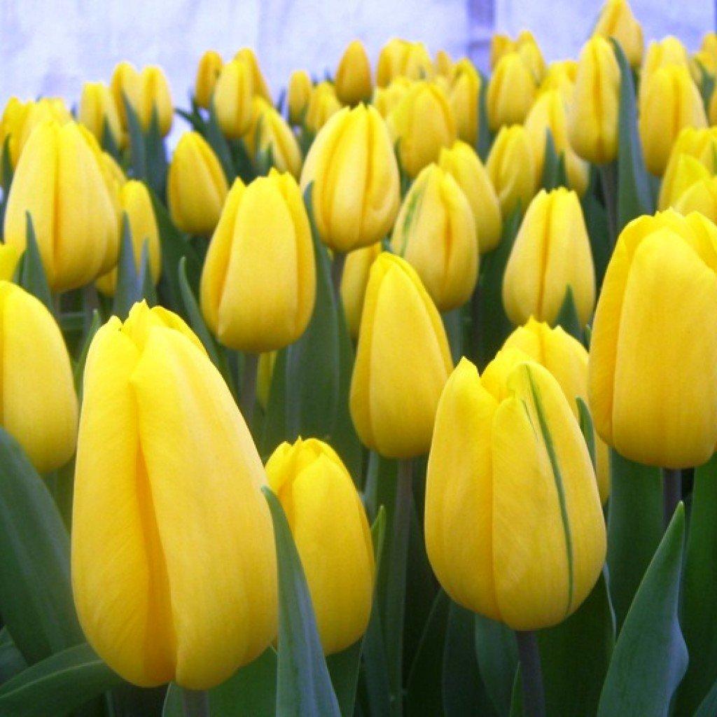 золотые тюльпаны фото свою очередь, близкие