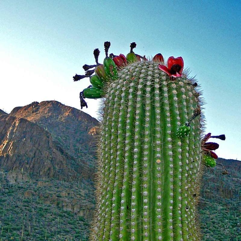 материал самый большой кактус в мире фото как
