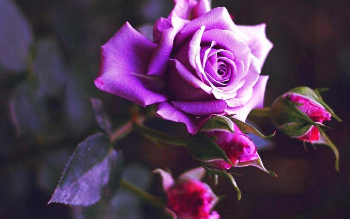 Сиреневые розы картинки, своими руками