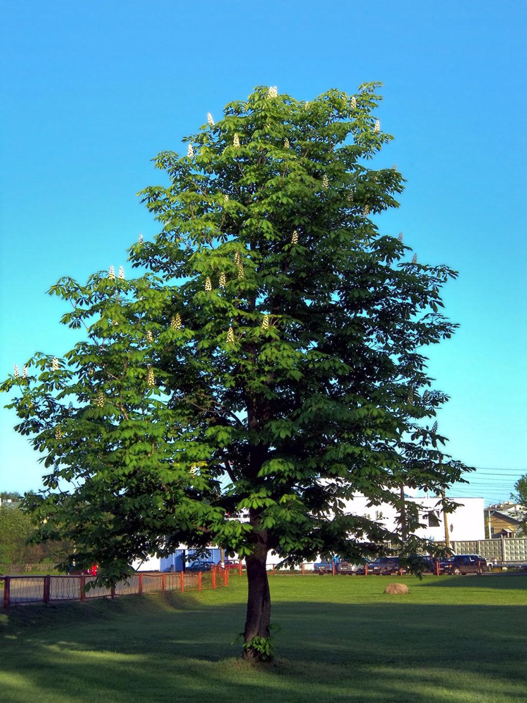 каштановое дерево картинка шерстка