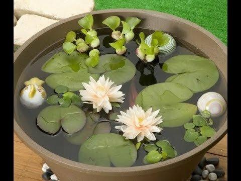 водяная лилия - выращивание в домашних условиях