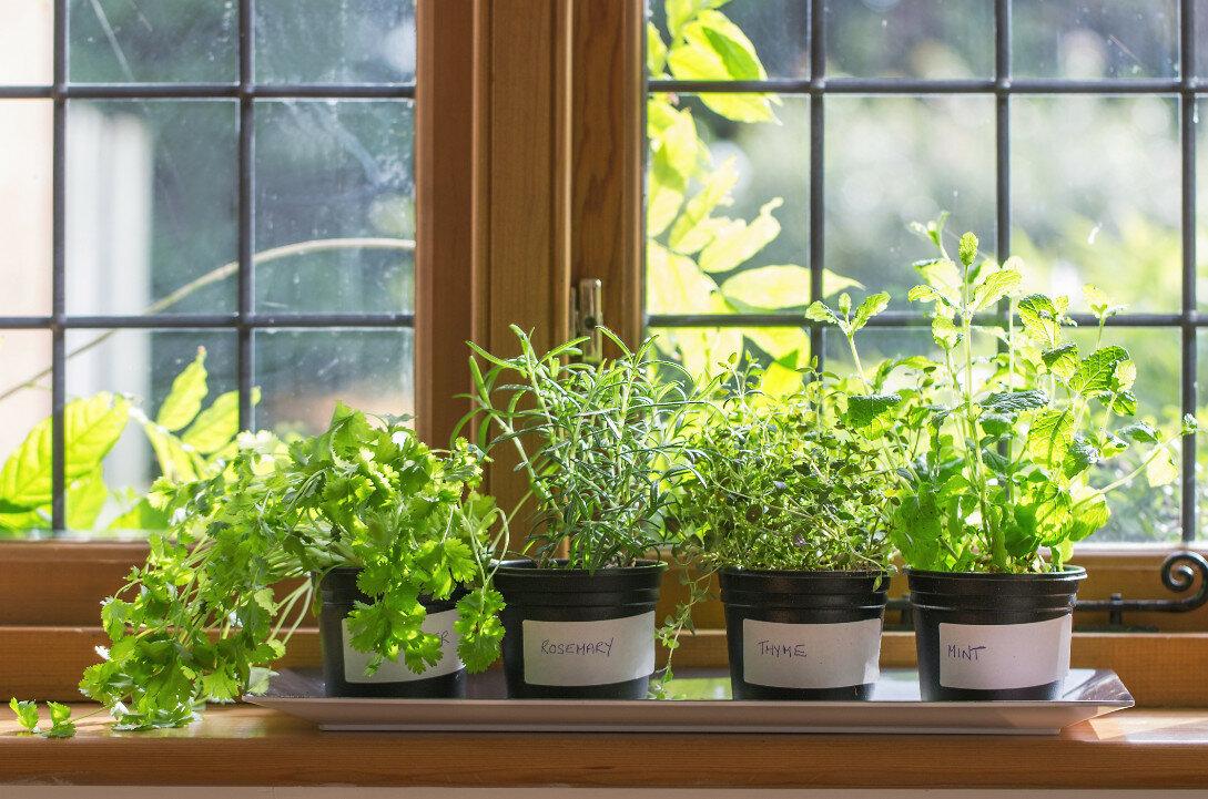 Как вырастить пряную зелень на подоконнике