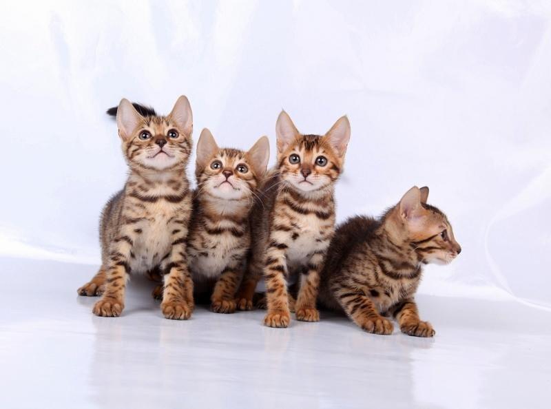 Бенгальские котята.  Можно с уверенностью сказать, что бенгальская кошка, описание породы которой мы сейчас рассмотрим, считается самой умной домашней породой.