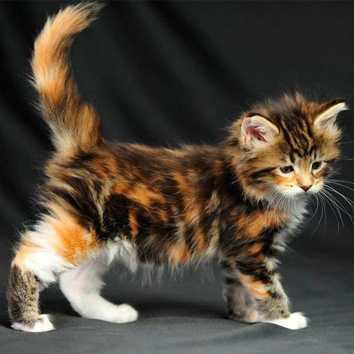 """Старейшая порода кошек на территории США, корни которой водят к кошкам, обитающим на Ñ""""ÐµÑ€Ð¼Ð°Ñ Ð² северо-восточной части Америки, в штате Мейн."""