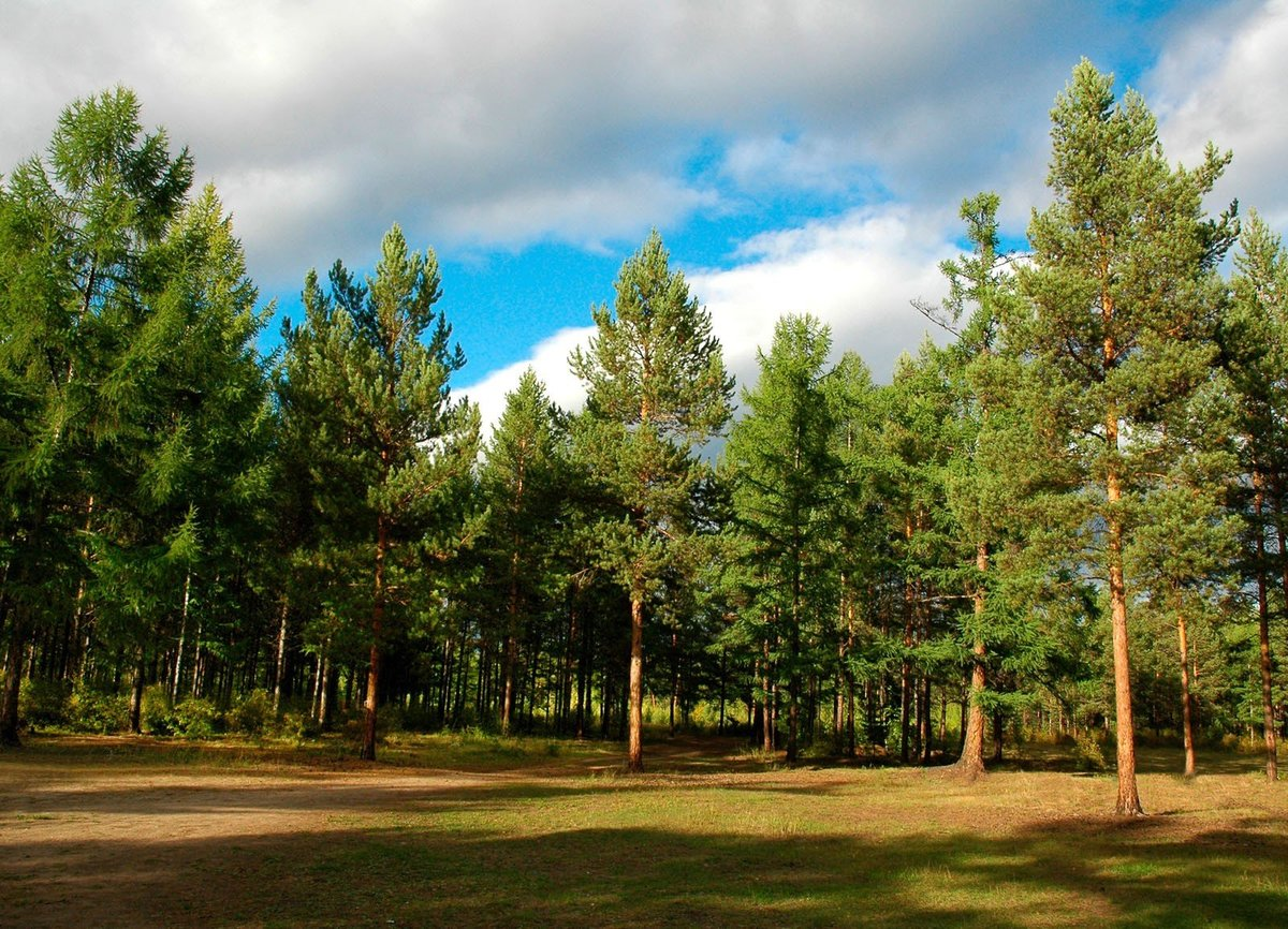 хотим картинки соснового лес москвина