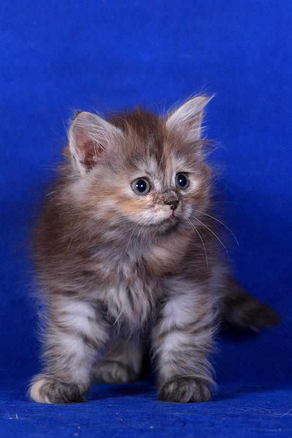 Невский маскарадный котенок,с черепаховым окрасом