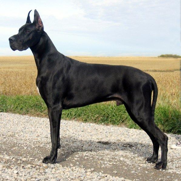 10 самых крупных пород собак в мире