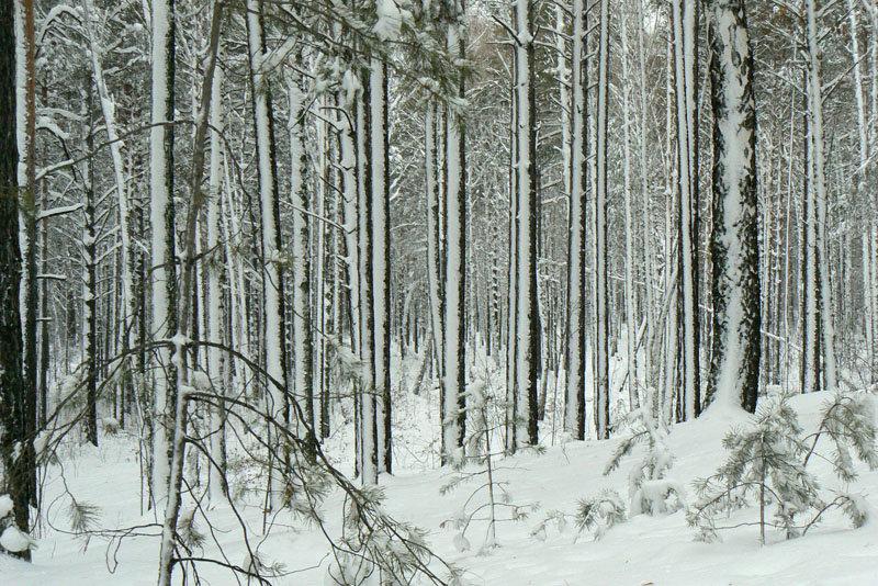 Сибирский лес зимой
