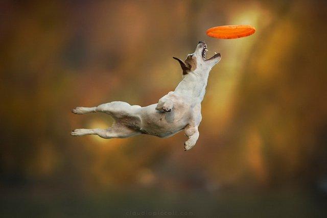 Собаки, которые любят фризби, от Клаудио Пикколи » Зооблог.ру