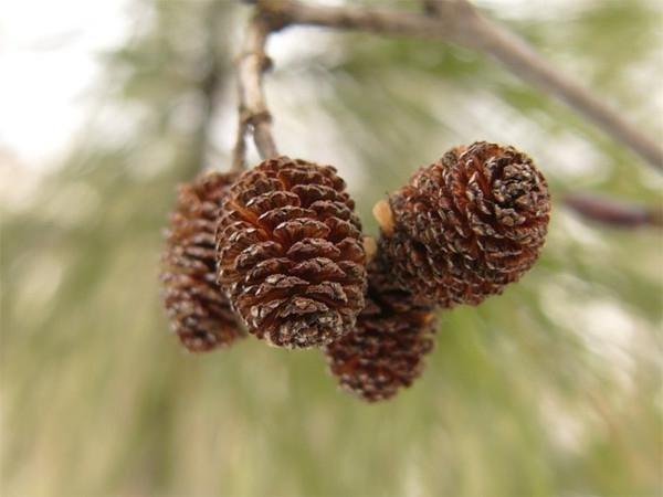 Здо… - шишки хвойных деревьев..
