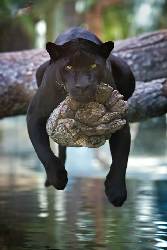 Смешные картинки пантеры