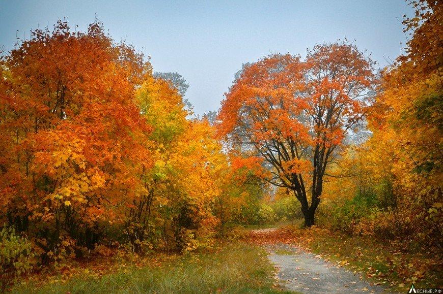 Лес – богатое царство со своими правителями и подданными. И если такие деревья как Дуб и Кедр призваны быть королями, то Клен по праву может стать балагуром и арлекином в Ð¸Ñ Ð²Ð»Ð°Ð´ÐµÐ½Ð¸ÑÑ