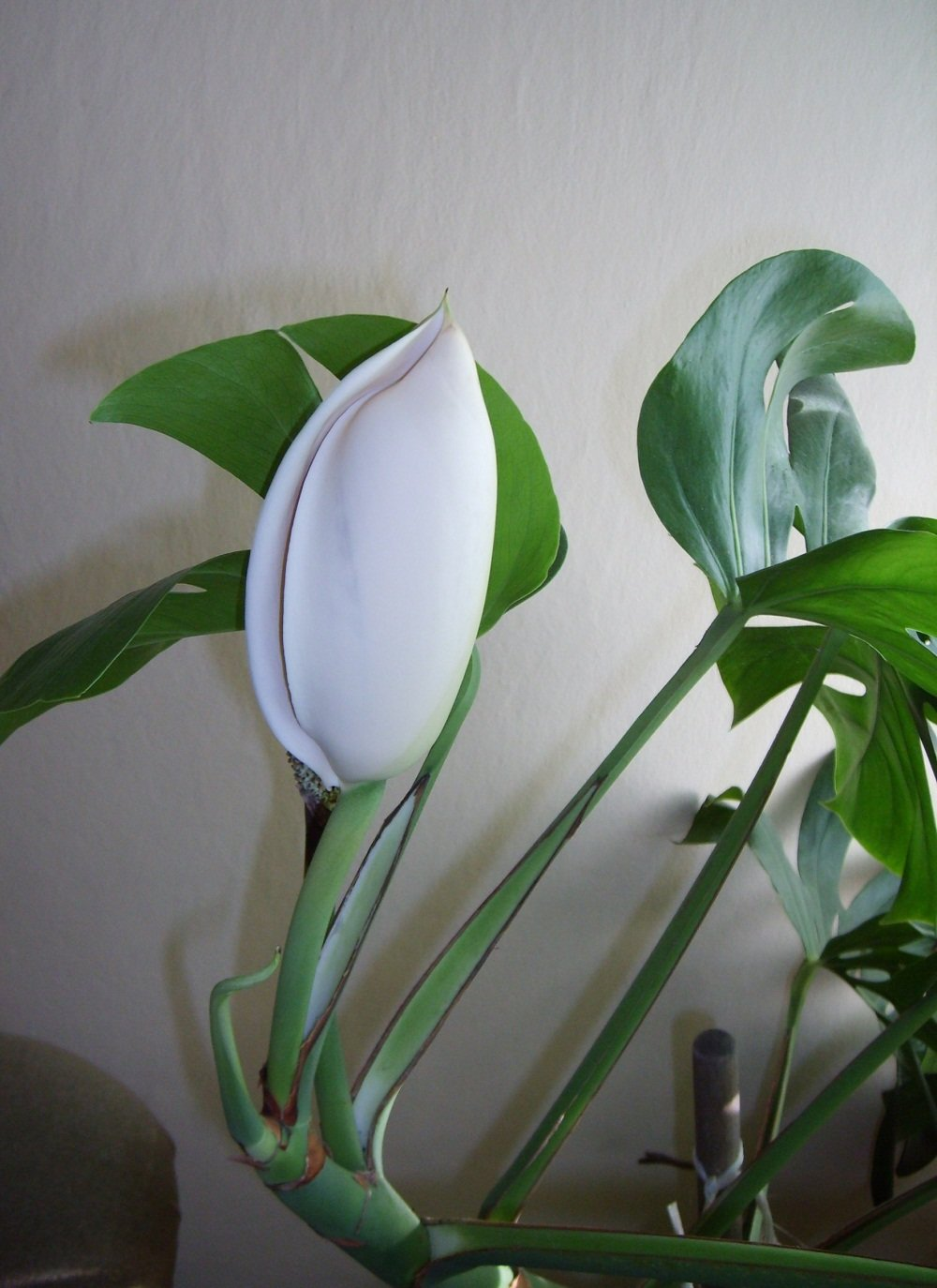 клиентами цветок амстера фото тележку собой