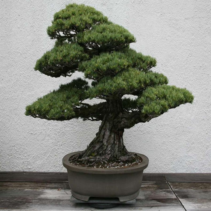 Банзай дерево фото уход в домашних условиях