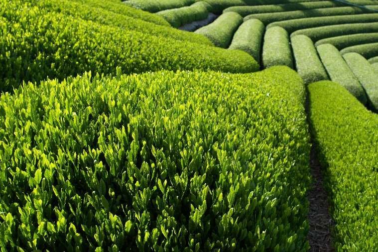 Зеленый чай польза зеленого чая