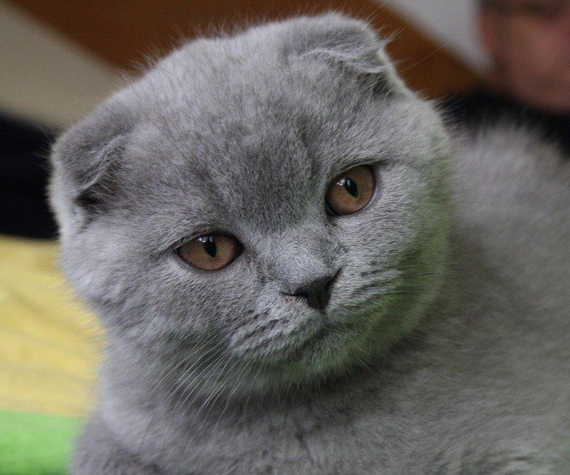 Вопреки популярному стереотипу, эти кошки довольно спокойно ведут себя во время Ð²Ð¾Ð´Ð½Ñ‹Ñ Ð¿Ñ€Ð¾Ñ†ÐµÐ´ÑƒÑ€. Как правило, они привыкают к воде после Ð½ÐµÑÐºÐ¾Ð»ÑŒÐºÐ¸Ñ Ð²Ð°Ð½Ð½. Но мыть Ð¸Ñ Ð½ÑƒÐ¶Ð½Ð¾ только в случае крайней необÑодимости – например, если появились блоÑи или шотландец слишком сильно испачкался. .