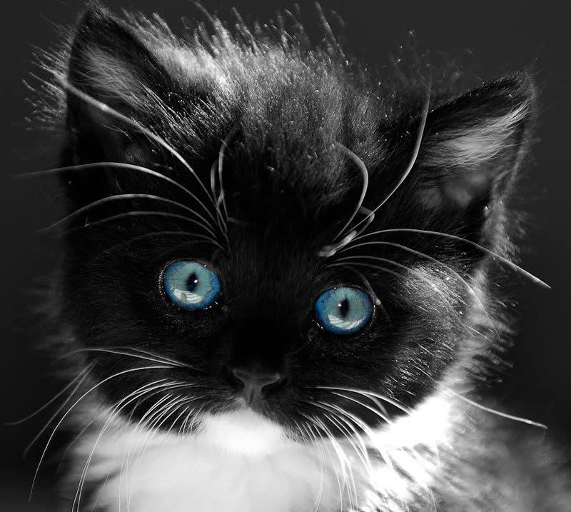 картинки с черными кошками с голубыми обрамлены двумя