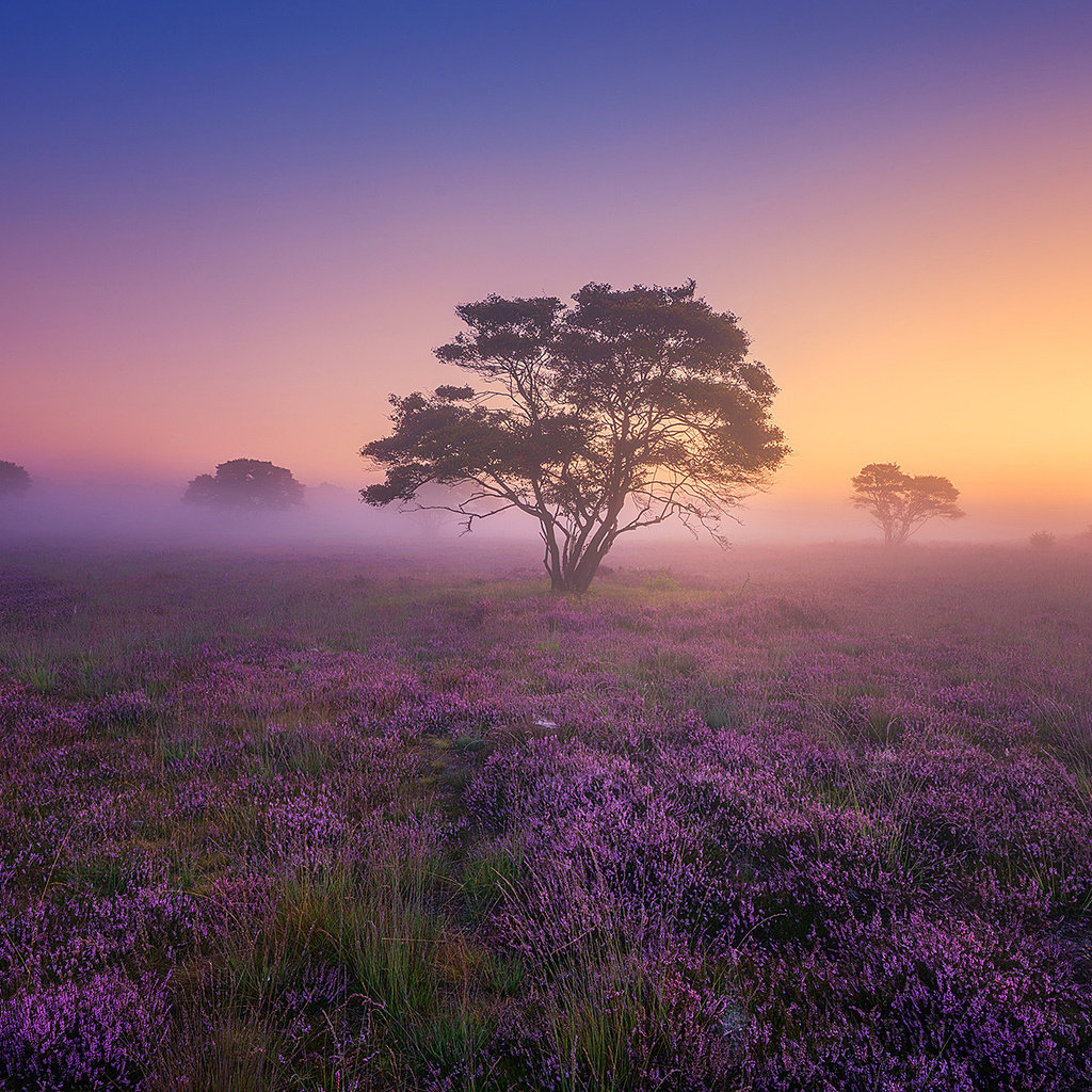 Туман, рассвет, вереск