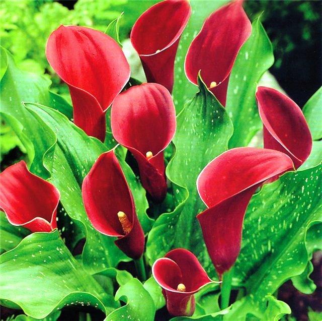 Каллы – изысканные цветы уникальной формы, восхищающие своей красотой, сдержанностью и лаконичностью.