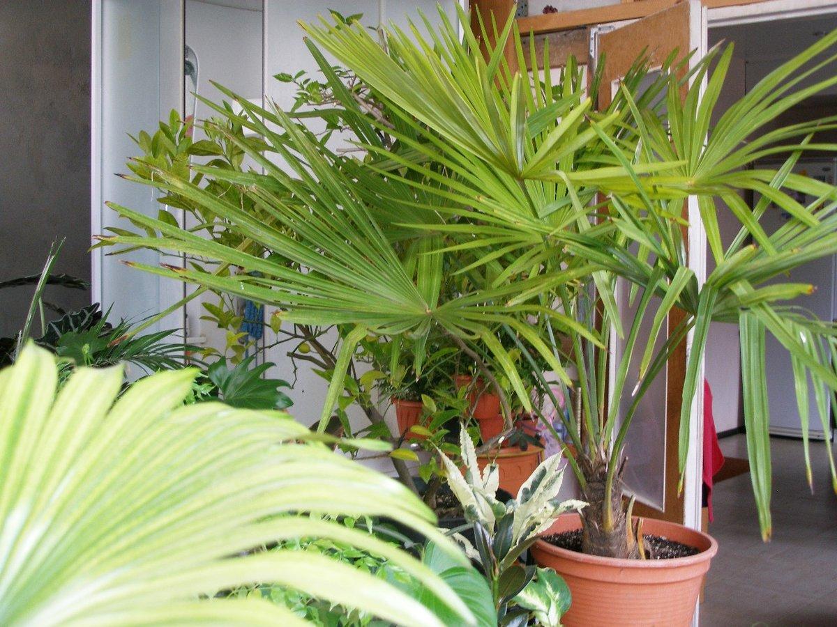 Комнатные растения пальмы фото с названиями