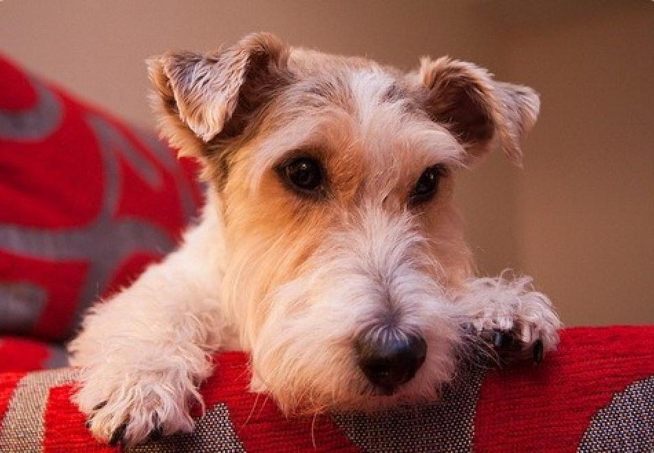 Картинка собака фокстерьер