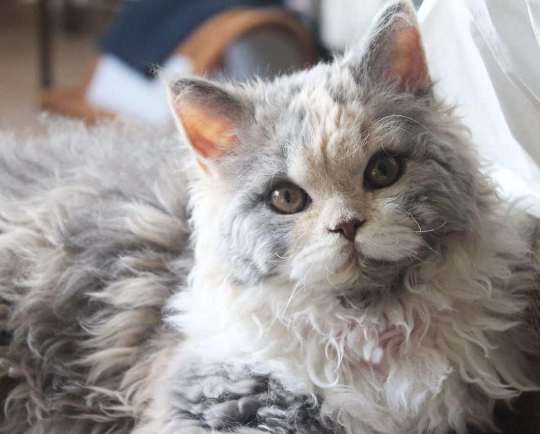 Кудрявый кот фотографии жить