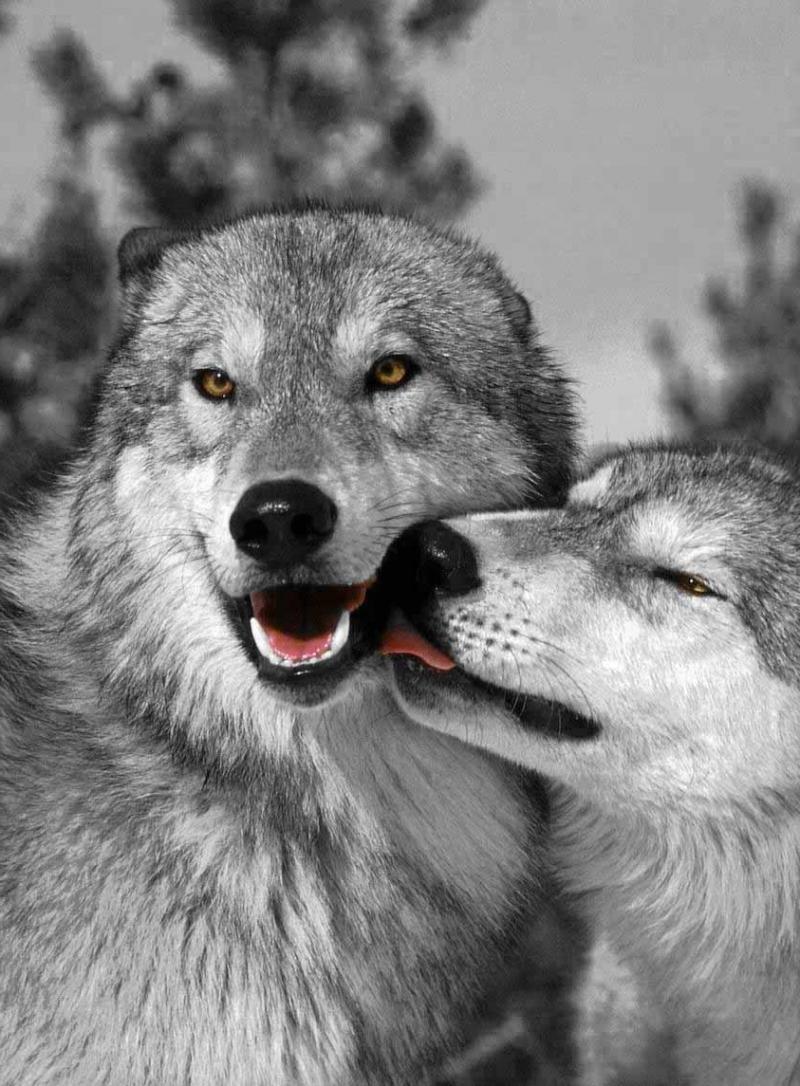 Картинки волки любовь