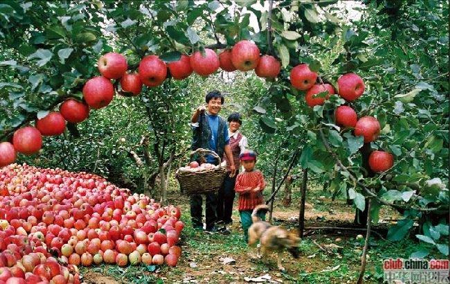 инвайт для как выращивают яблоки в китае менее