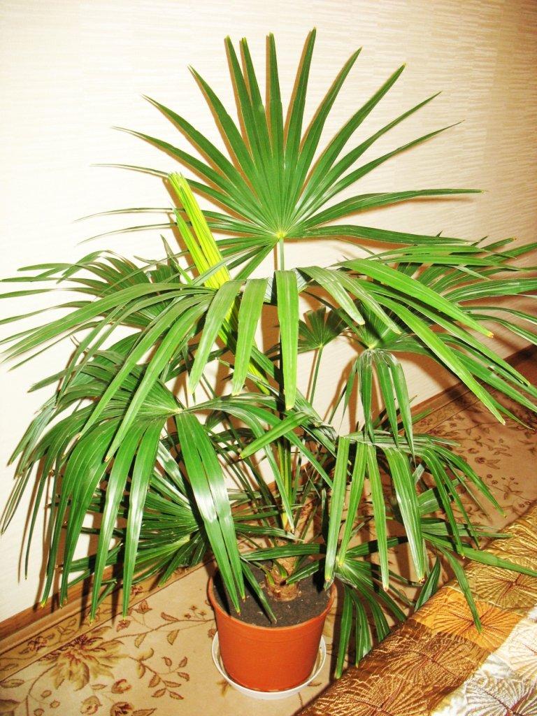 фото и названия пальмовых домашних растений осуждали ксению