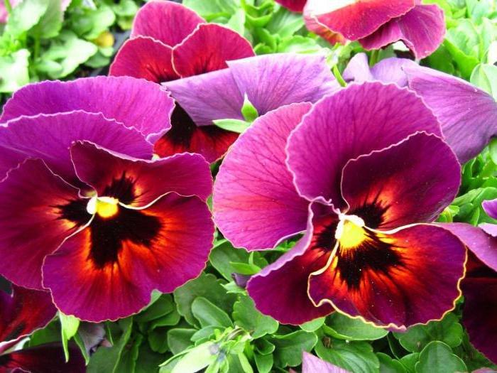 Цветовая гамма этого цветка удивительна. Различные оттенки голубого, красного, желтого, оранжевого, фиолетового, синего и даже черного.