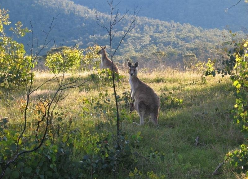 На территории Голубых гор водятся разные виды животных и птиц. Здесь можно встретить серого кенгуру, горного кенгуру, кольцехвостого и кистехвостого оппосума, валабби. Также в этих горах встречаются очень редкие виды пернатых и других животных, которые находятся под угрозой вымирания — крапчатая сумчатая куница, сумчатая летяга, длинноносый потору, коала и др.