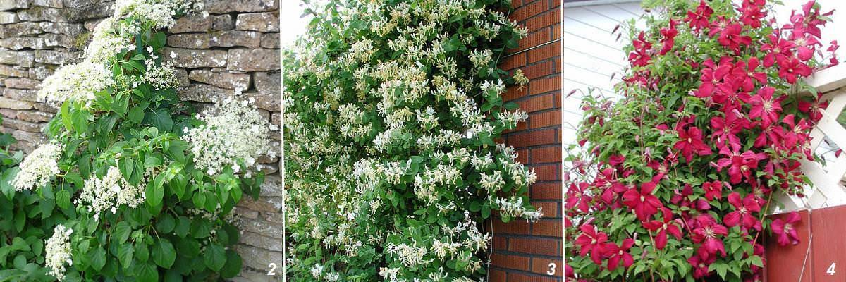 многолетние лианы для сада фото и названия ближе