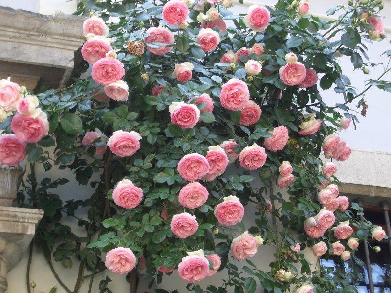 профессионального розы плетистые фото с названием сорта валерия привили детям